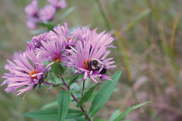 bees-in-aster