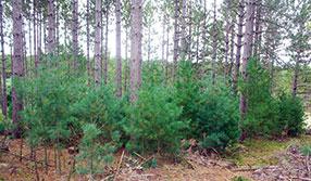 white-pine-trees